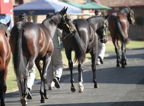 Cape Yearling Sale